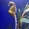 Sea Horse, New Orleans Aquarium